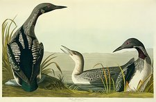 Black-throated diver, artwork