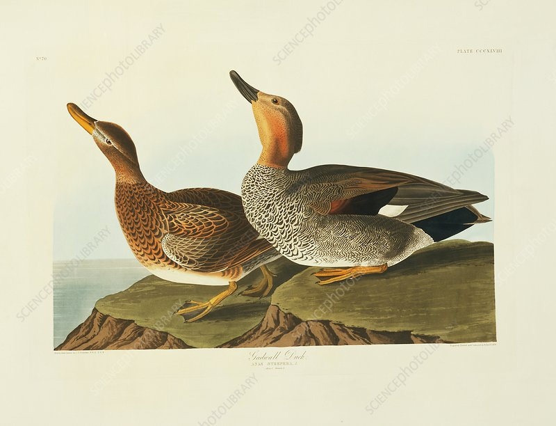 Gadwall ducks, artwork