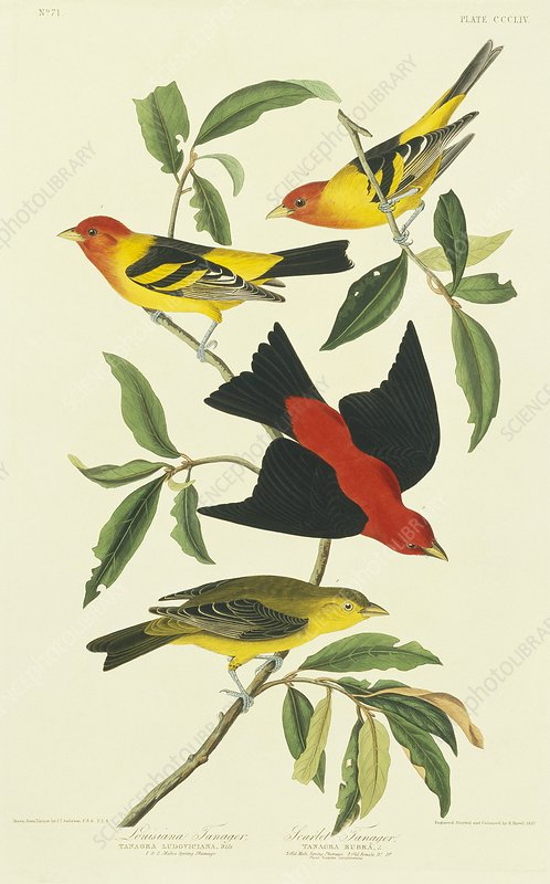 Western and Scarlet Tanagers, artwork