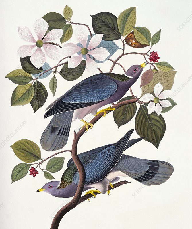 Band-tailed pigeon, artwork