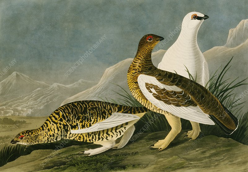 Rock ptarmigan, artwork