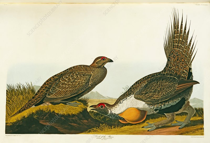 Greater sage grouse, artwork