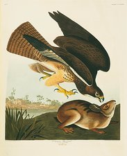 Swainson's Hawk and prey, artwork