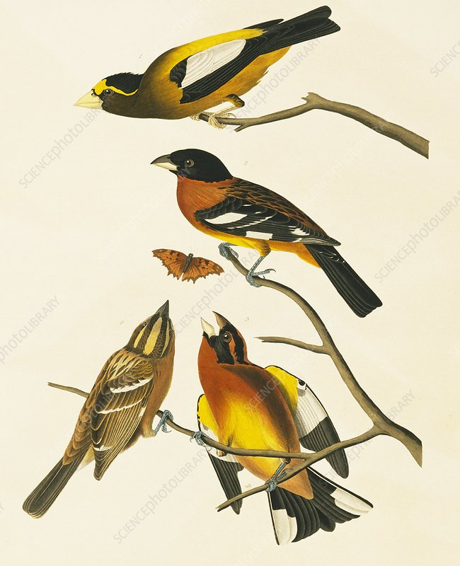 Grosbeaks, artwork