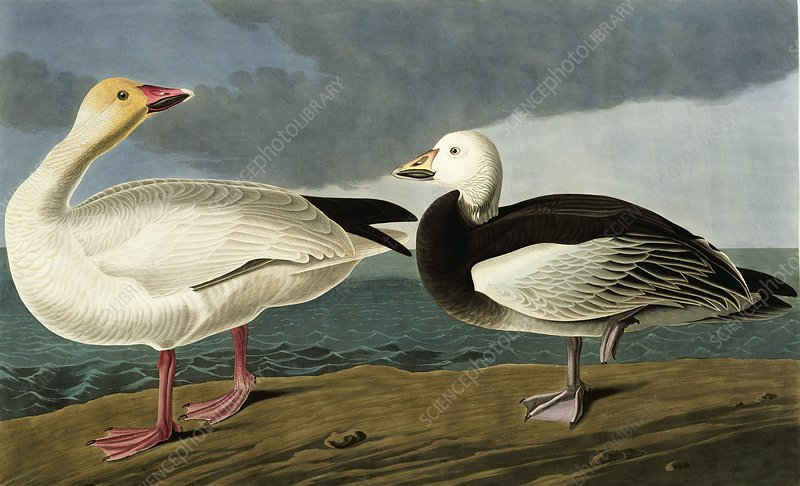 Snow goose, artwork