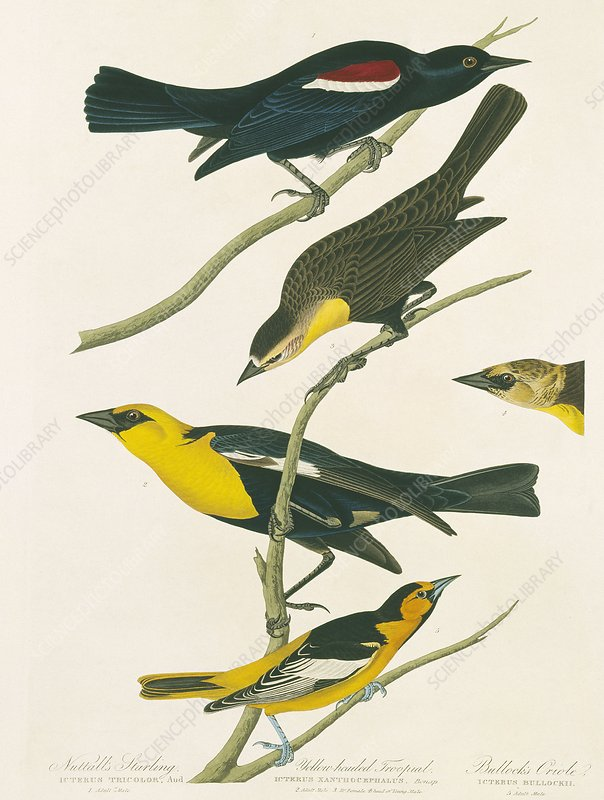 Oriole and blackbirds, artwork