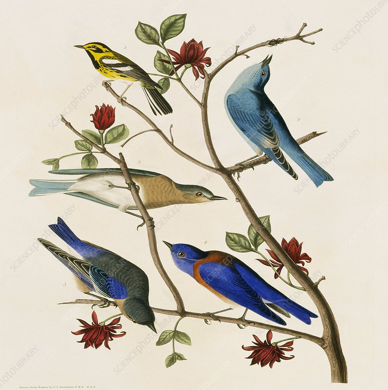 Bluebirds and Warbler, artwork