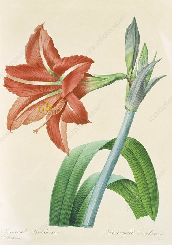 Amaryllis bresilienne flower, artwork