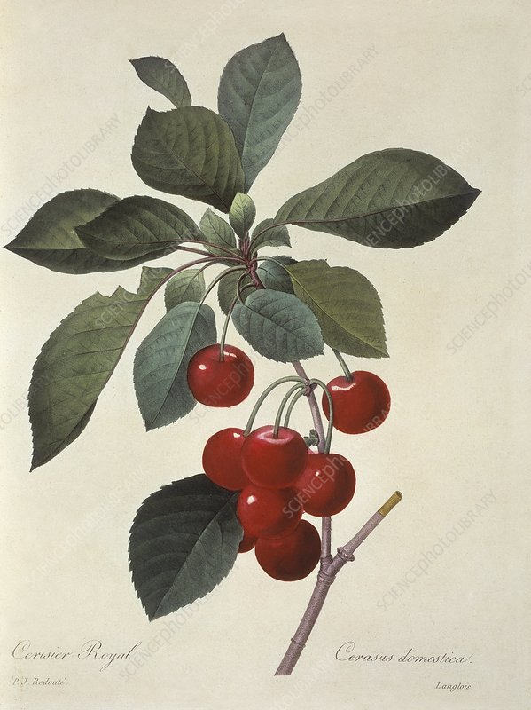 Sour cherries Prunus cerasus, artwork