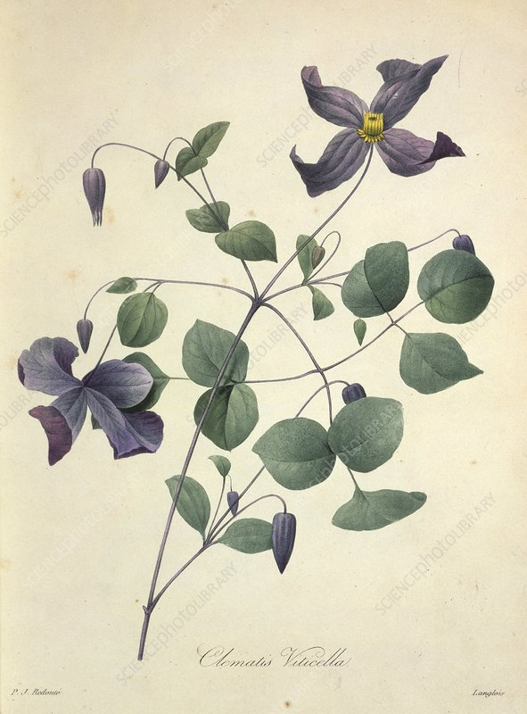 Clematis viticella flowers, artwork