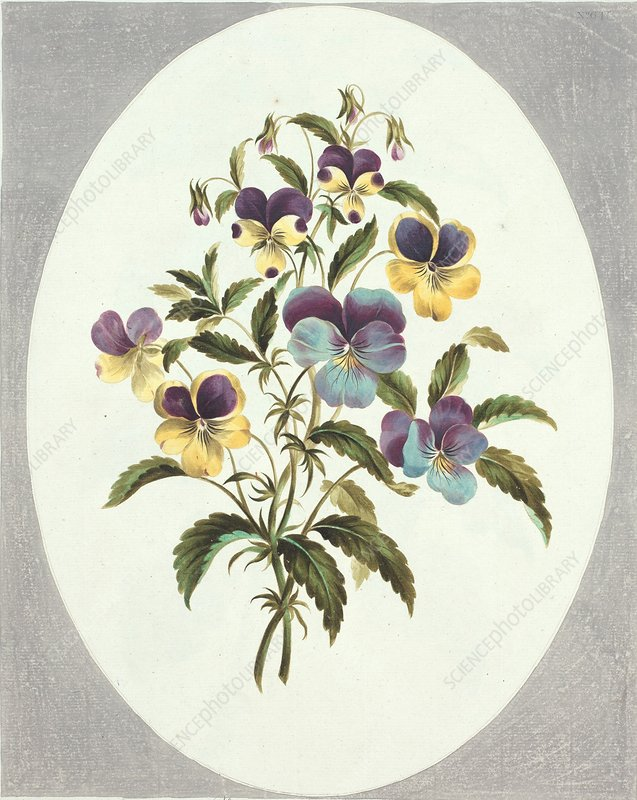 Viola flowers, artwork