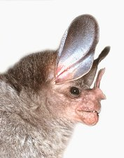 Woolly false vampire bat