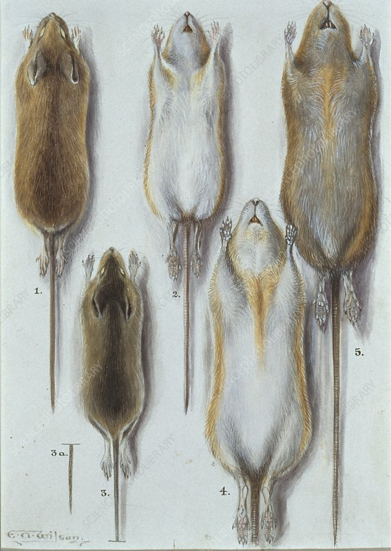 Long Tailed Field Mice, artwork