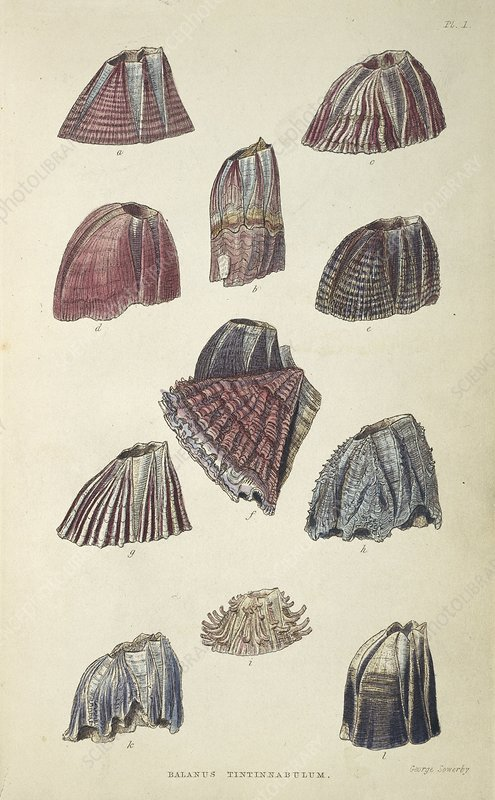 Balanidae barnacles, artwork