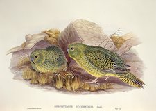 Two Night Parrots, artwork