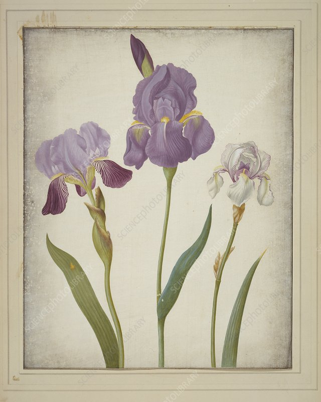 Iris germanica and pallida, artwork