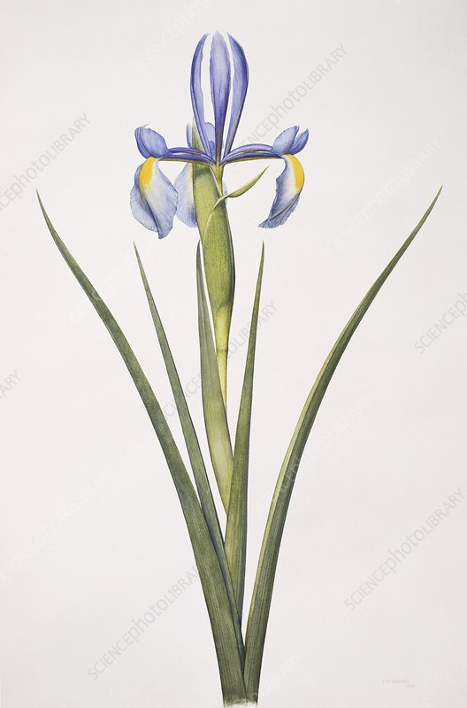 Iris flower, artwork
