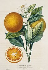 Orange tree Citrus sinensis, artwork
