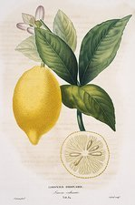 Lemon tree Citrus limon, artwork