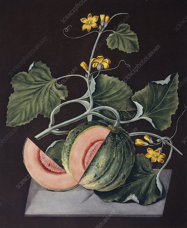 Amicua melons fruits on the vine, artwork