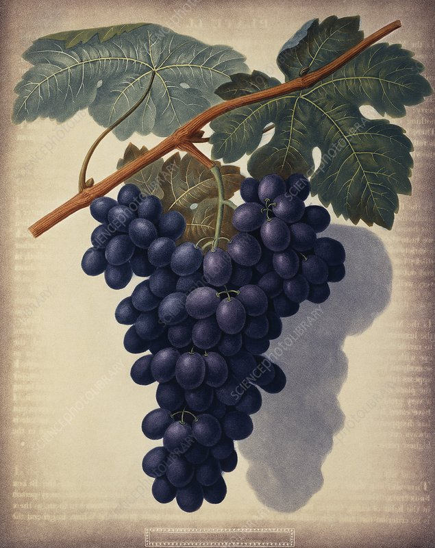 Black grapes Vitis sp, artwork