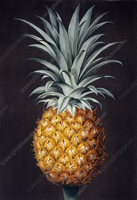 Pineapple Ananas comosus, artwork