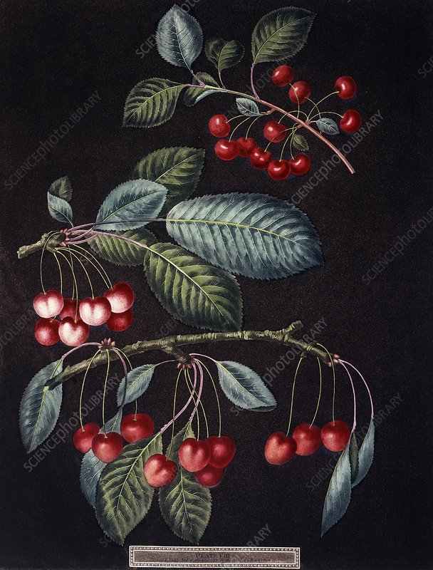 Cherry tree Prunus sp, artwork