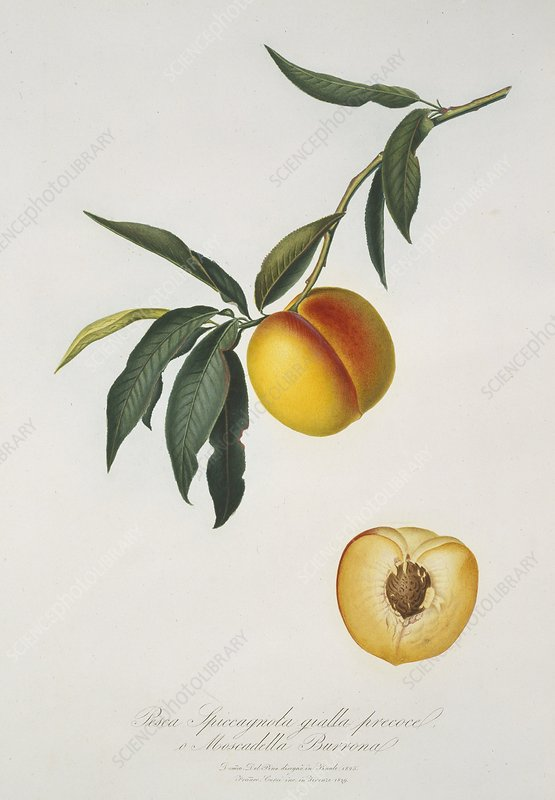 Peach Prunus persica, artwork