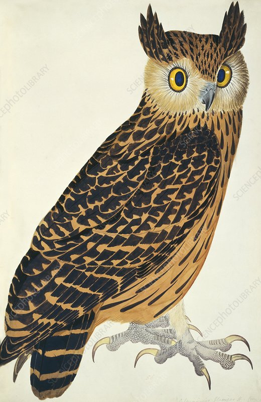 Tawny Fish Owl, artwork