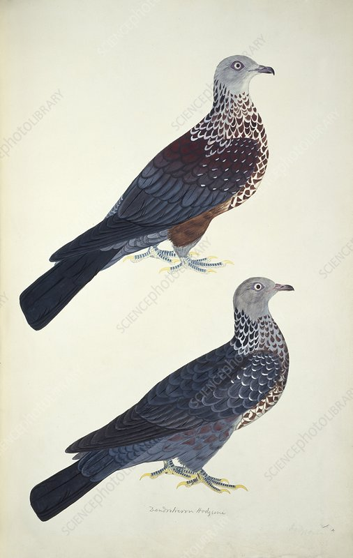 Two woodpigeons, artwork