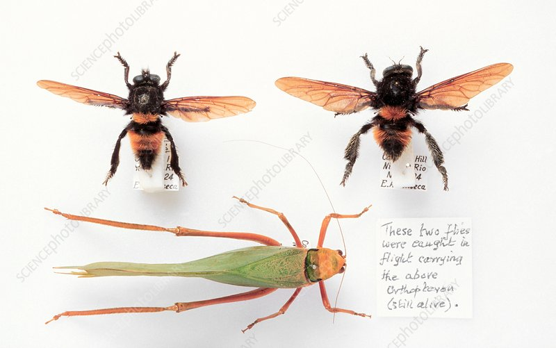 Robber fly pair and prey