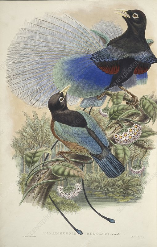 Two blue bird-of-paradise birds, artwork