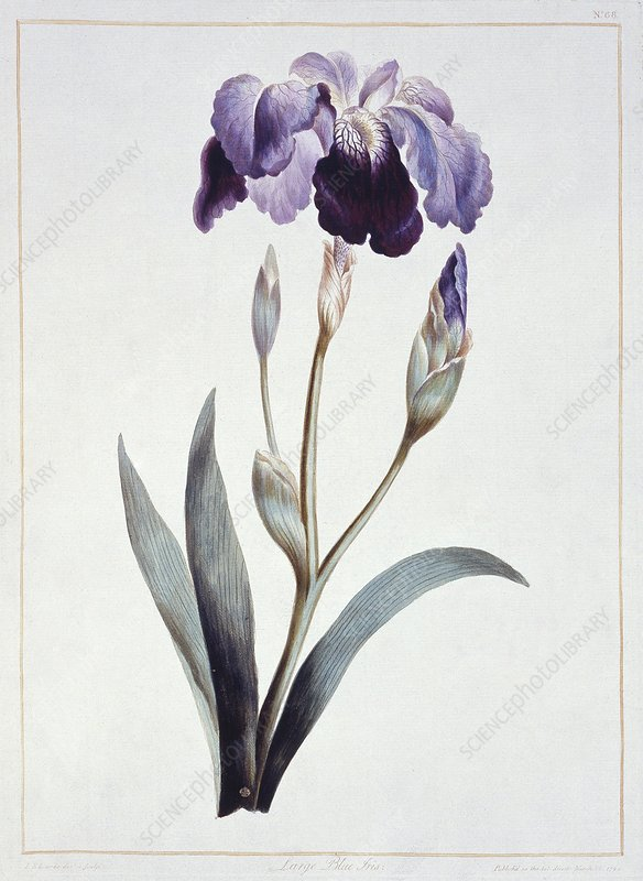 Blue iris, artwork
