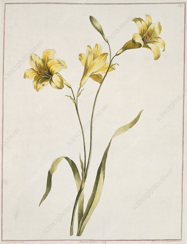 Lily Lilium sp, artwork
