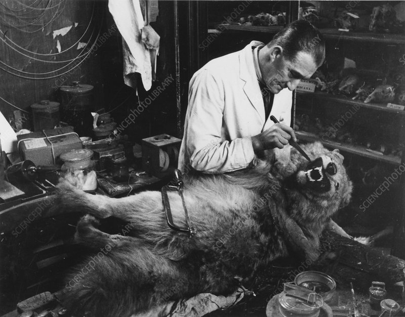 Taxidermist working on a stuffed wolf