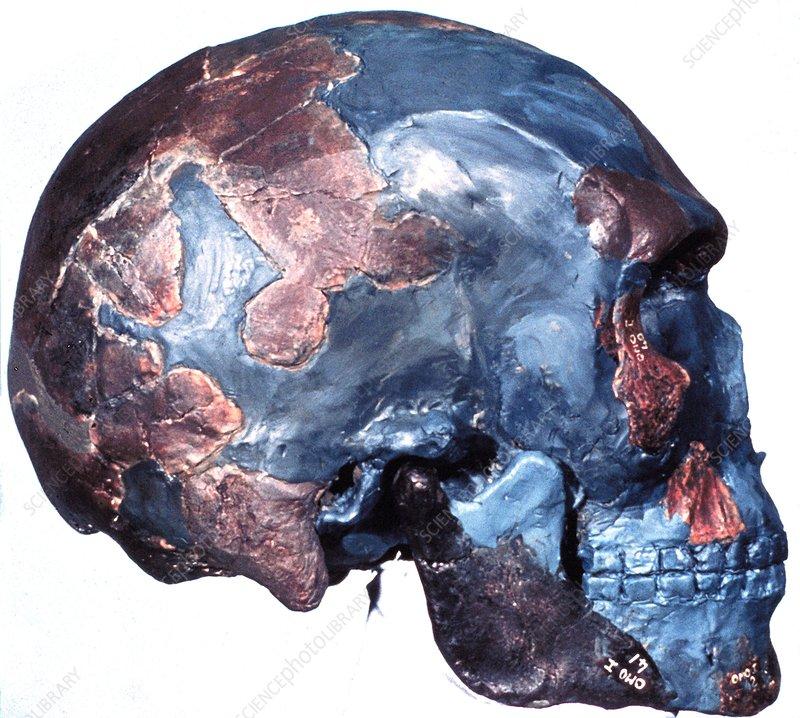 Prehistoric human skull (Omo 1)