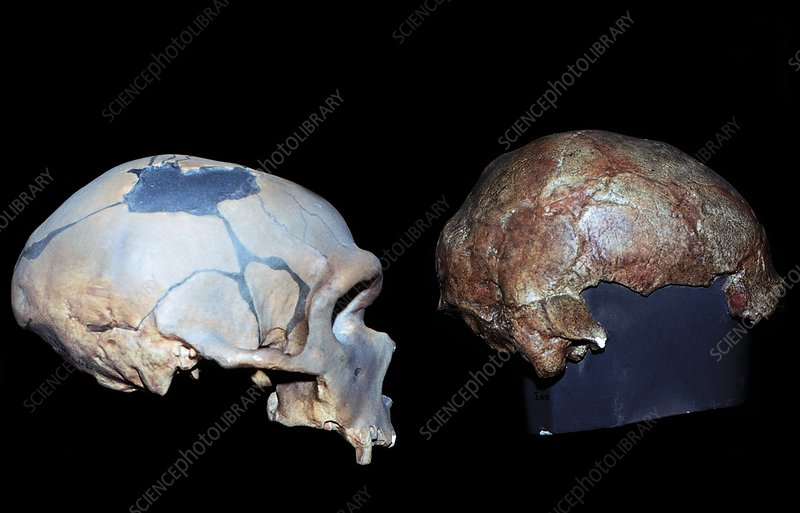 Neanderthal and Cro-Magnon skulls