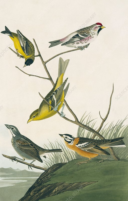 Finches and Tanagers, artwork