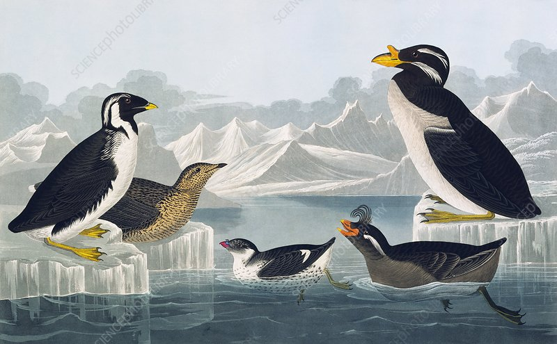 Group of auks and auklets, artwork