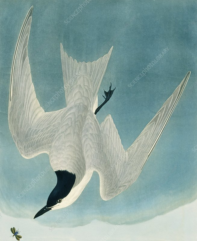 Gull-billed tern, artwork