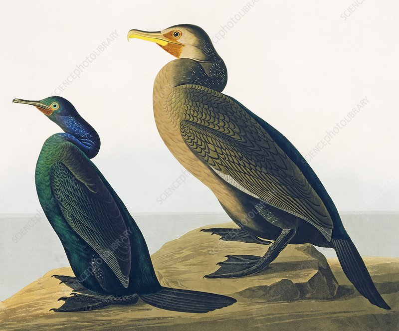Cormorants, artwork
