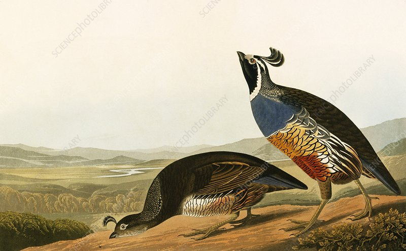 Californian quail, artwork