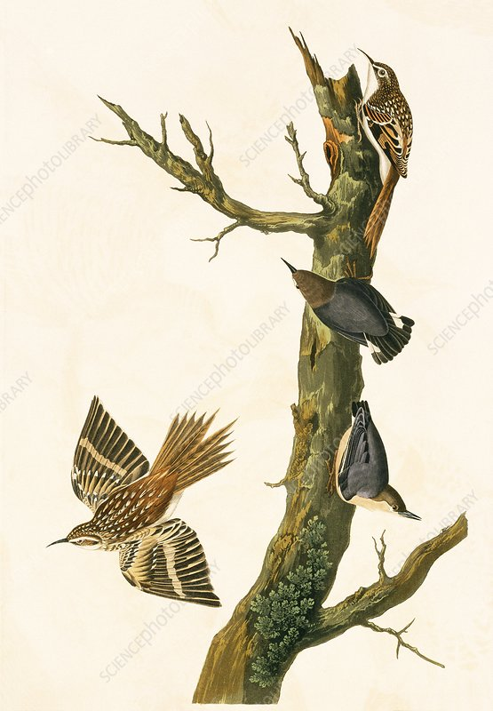 Brown creeper and Pygmy nuthatch, artwork
