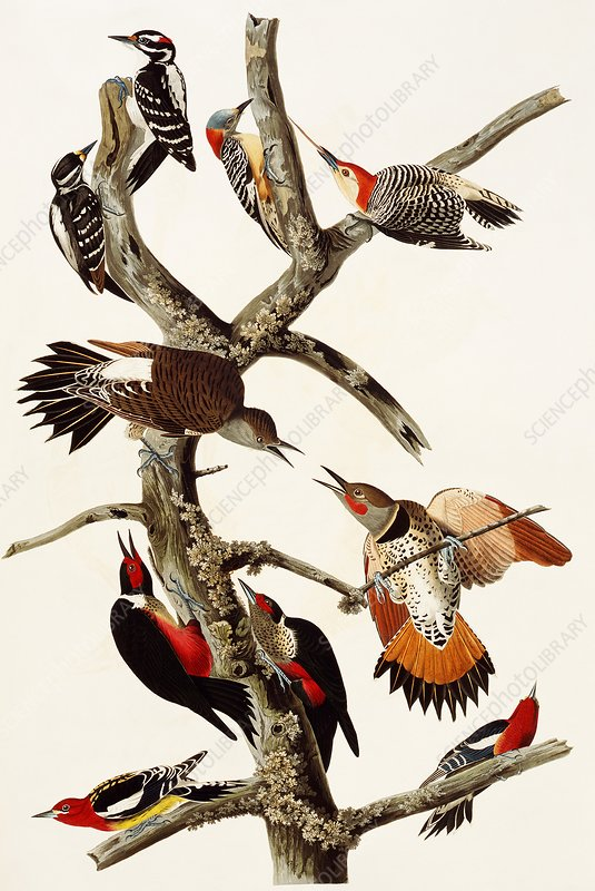 Woodpeckers, artwork