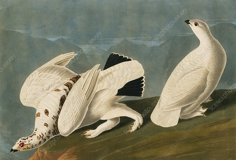 Rock and white tailed ptarmigans, artwork
