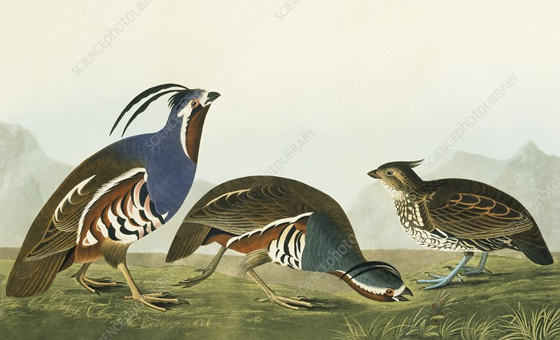 Crested bobwhite and Mountain quail
