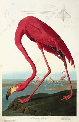 Greater flamingo, artwork