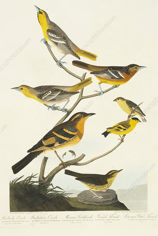 Group of song birds, artwork