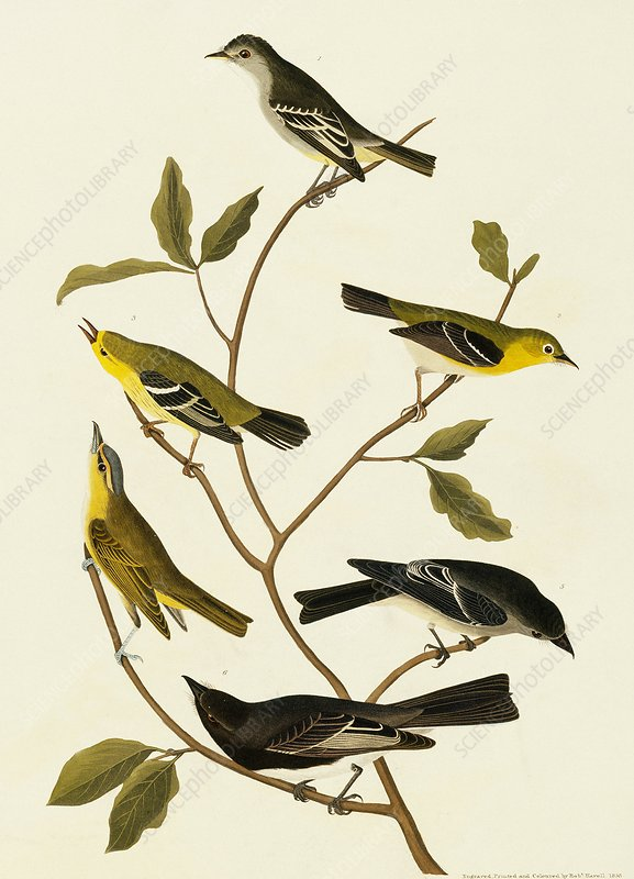 Flycatchers and vireos, artwork