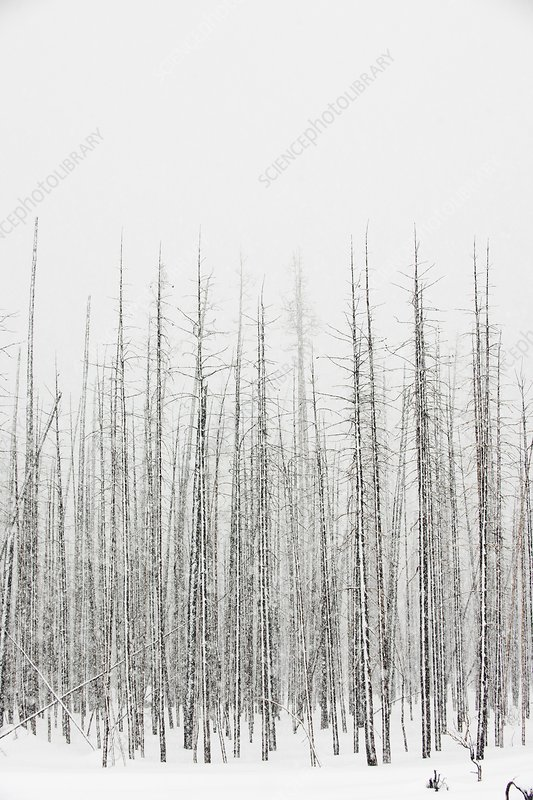 Winter forest, Yellowstone National Park
